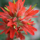Common Red Paintbrush by Alyce Taylor