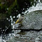 Grey Wagtail By The River Leven by Jamie  Green