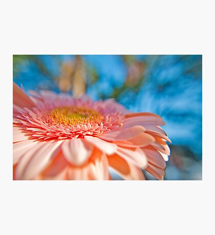 Pale Pink Gerbera in the garden Photographic Print