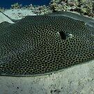 Honeycomb ray resting on Yolande plateau by shellfish