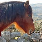 Redhead - Connemara Pony by ConnemaraPony