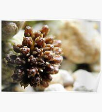 Pseudolithos cubiformis Flower Developement Poster