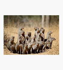 A Business of Mongoose Photographic Print
