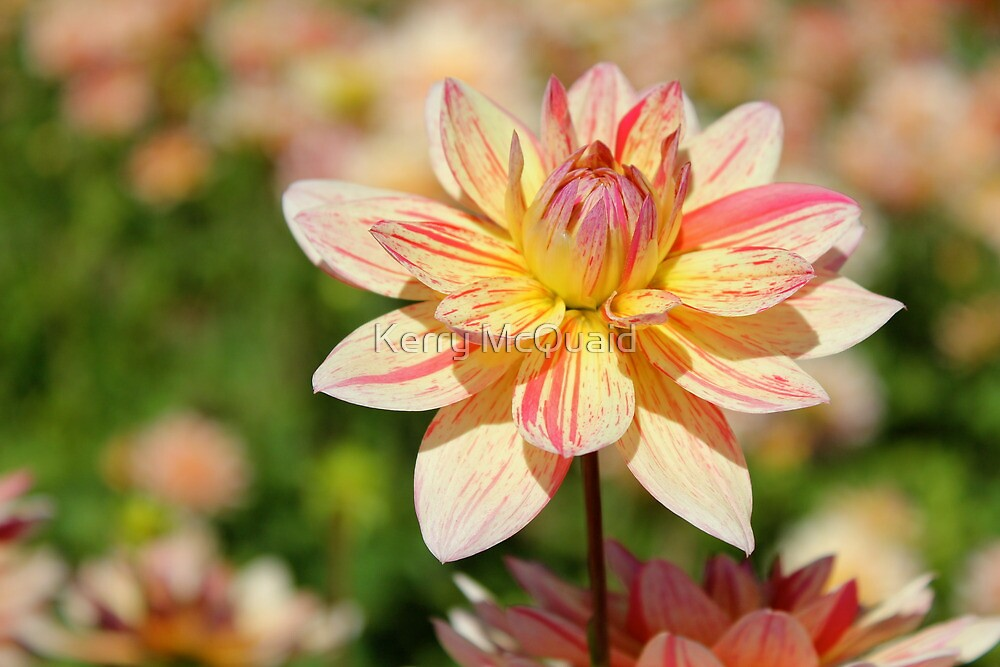 Pink and Yellow striped Dahlia Flower. by Kerry McQuaid