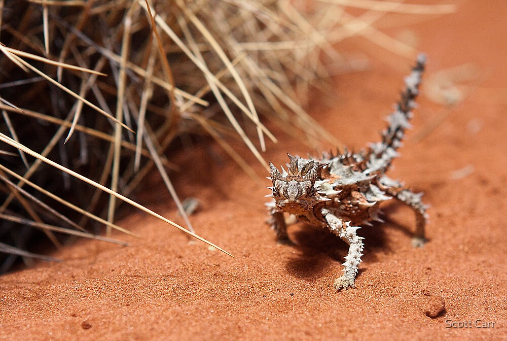 Thorny Devil by Scott Carr