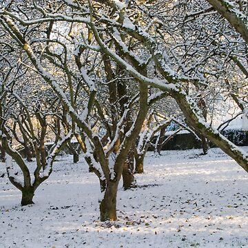 An Orchard of Snow, Ireland by orlaphoto