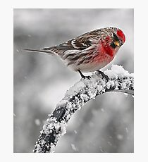 Red Poll -- Cold, But Hungry Photographic Print