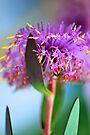 Isopogon by Renee Hubbard Fine Art Photography