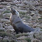Australian Sea Lion (Neophoca cinerea) - Fitzgerald Bay, South Australia by Dan Monceaux