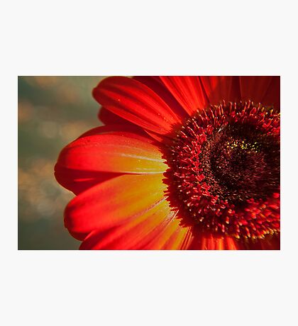 Red Gerbera in the afternoon light Photographic Print