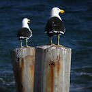 Pacific Gulls (Larus pacificus) - Stony Point, South Australia by Dan Monceaux