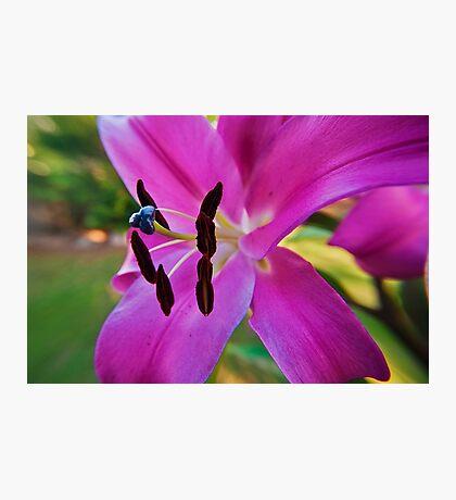 Pink Lilium Photographic Print