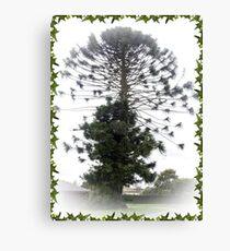 Bunya Nut  Pine Tree - Drouin, Gippsland Canvas Print
