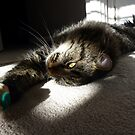 Maine Coon at play by dgscotland