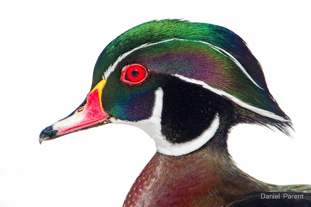 Wood duck portrait by Daniel  Parent