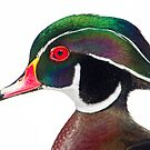 Wood duck portrait by Daniel  Parent
