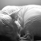 Sleeping Sphynx in Black & White by Glennis  Siverson