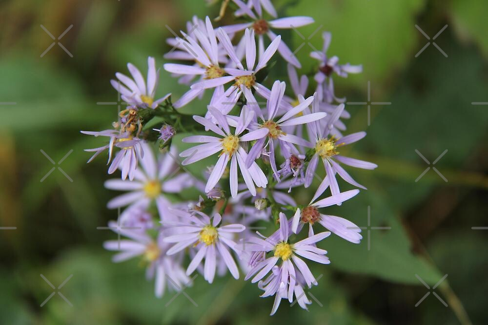 Smooth Aster by Vickie Emms