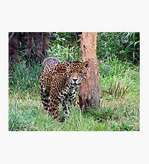 Jaguar Fotodruck