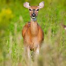 White-tailed Deer by Michael Mill