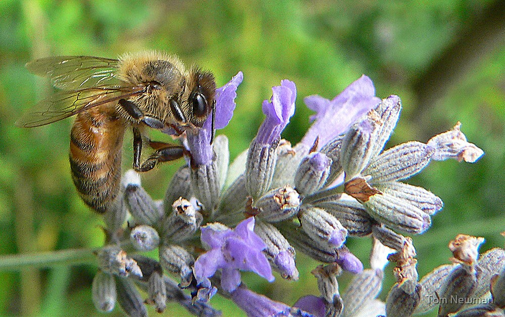 Bee on Lavender by Tom Newman