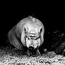 Wandering Pig by Kgphotographics