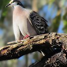 Common Bronzewing Pigeon (Correct Me If I'm Wrong) by Toni Kane