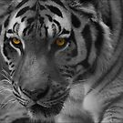 Eye of the Tiger by john403