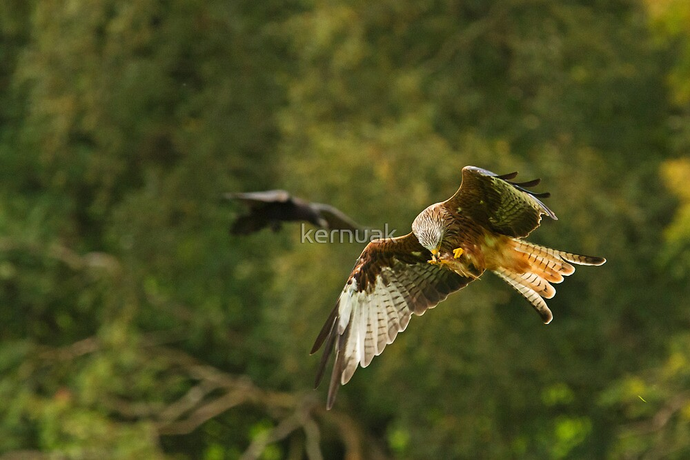 Feeding Red Kite by kernuak