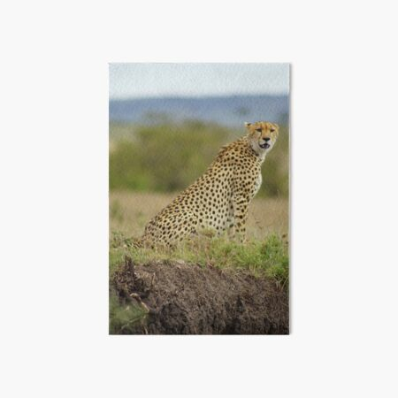Cheetah in the Masai Mara Kenya Art Board Print