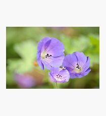 Herb-Robert Photographic Print