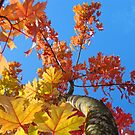 Fall Tree Looking Up Blue Sky Colorful Leaves art prints by BasleeArtPrints