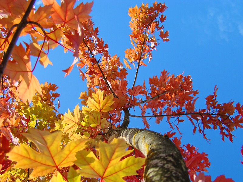 Quot Fall Tree Looking Up Blue Sky Colorful Leaves Art Prints