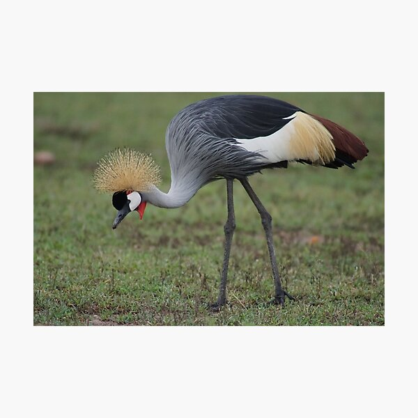 Grey Crowned Crane Photographic Print