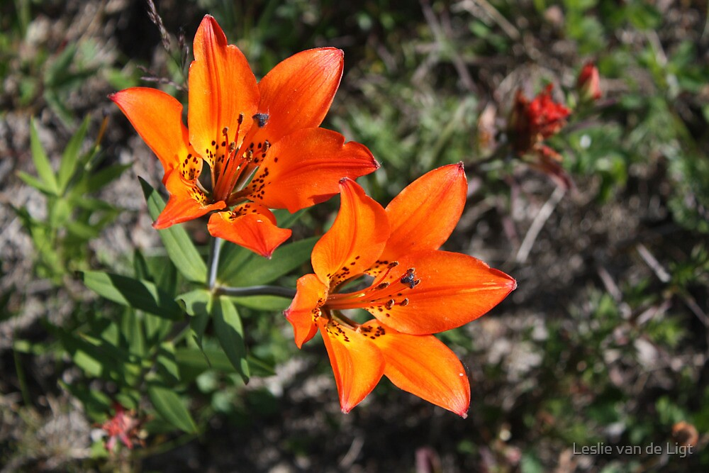 Rocky Mountain Lily by Leslie van de Ligt