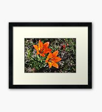 Rocky Mountain Lily Framed Print