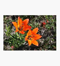 Rocky Mountain Lily Photographic Print