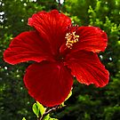 Red Hibiscus by Richard Earl