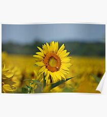 Sunflower and Beez Poster