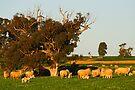 Sheep grazing near Grenfell by Darren Stones