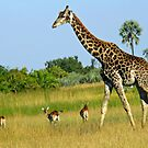 The Delta-giraffe and red lechwe by Anthony Goldman