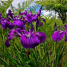 Iris Delight ~ Wild Iris ~ by Charles & Patricia   Harkins ~ Picture Oregon