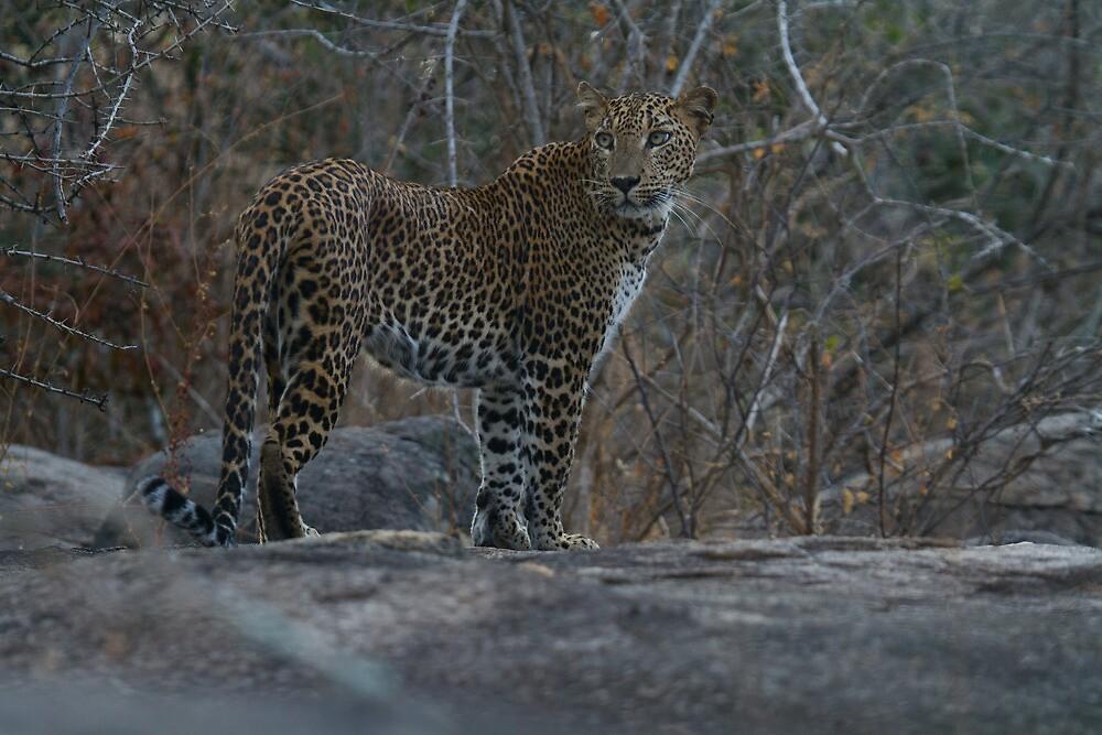 Leopard - Yala, Sri Lanka by Dev Wijewardane