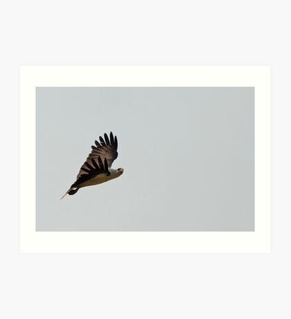 White Bellied Sea Eagle Art Print