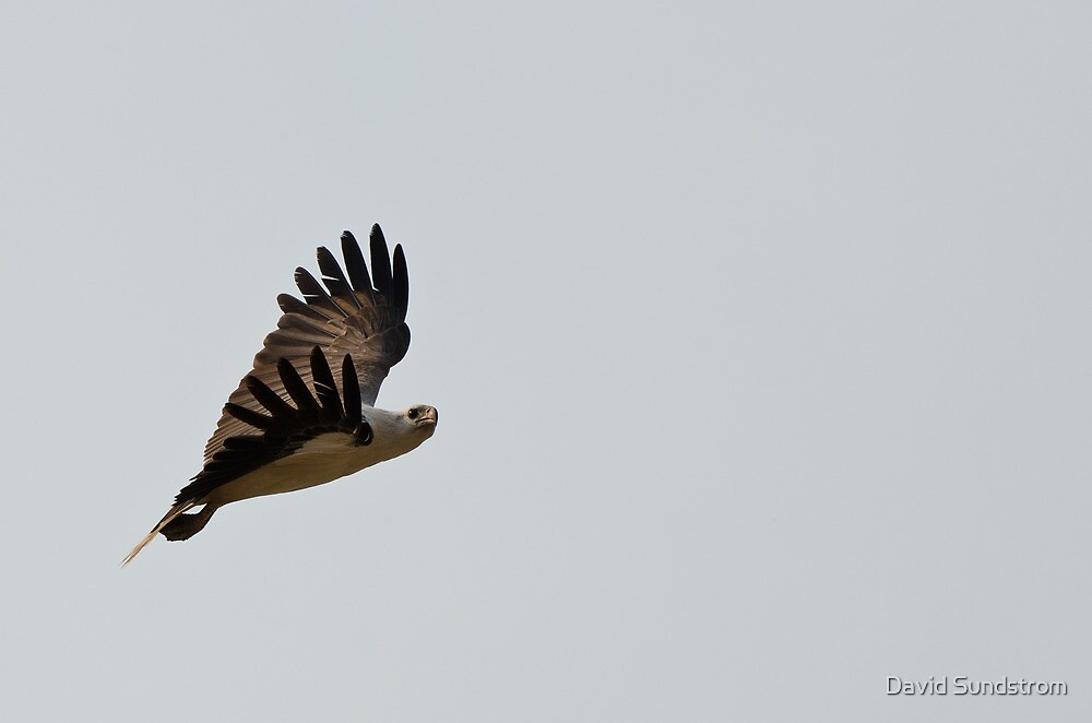 White Bellied Sea Eagle by David Sundstrom