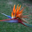 Bird of Paradise by maysun