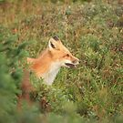 Fox of Ferryland by Stephen Ryan