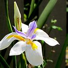 First Iris of Spring by Nicki Baker