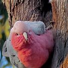 Female Pink And Gray Galah, Protecting Her Nest (Western Australia) by Toni Kane