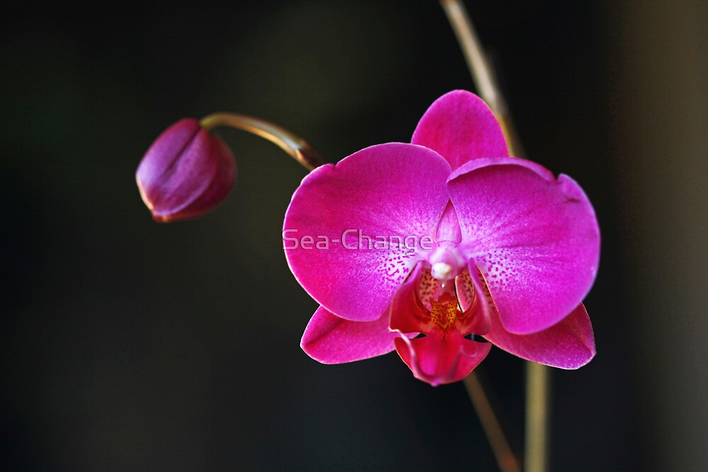 Orchid #3 by Sea-Change